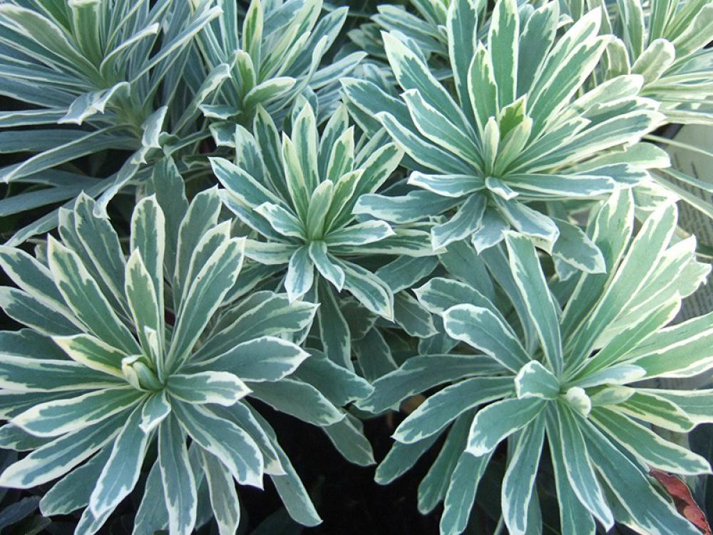 Euphorbia characias SILVER SWAN; photo, Ashwood nurseries