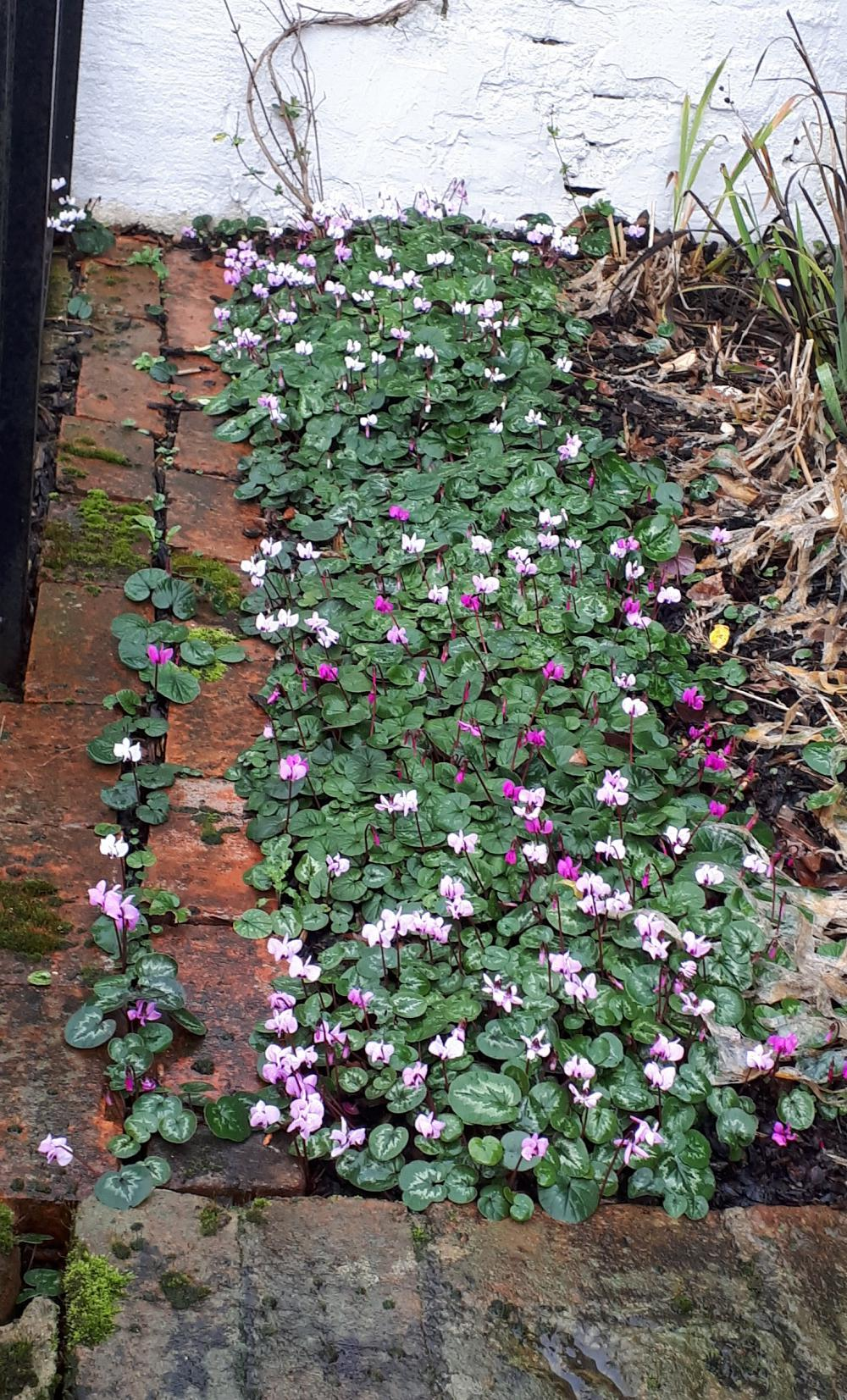 Let cyclamen spread for ground cover