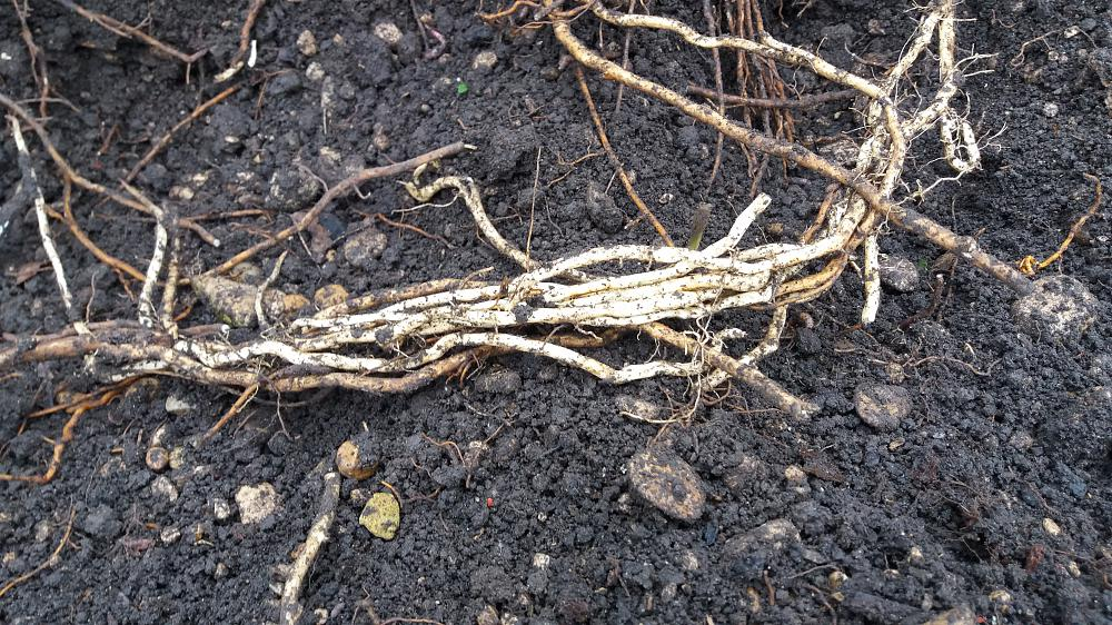 bindweed roots; photo, BEST in Horticulture Ltd