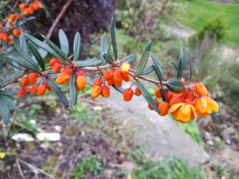 Berberis trigona 'Orange King'