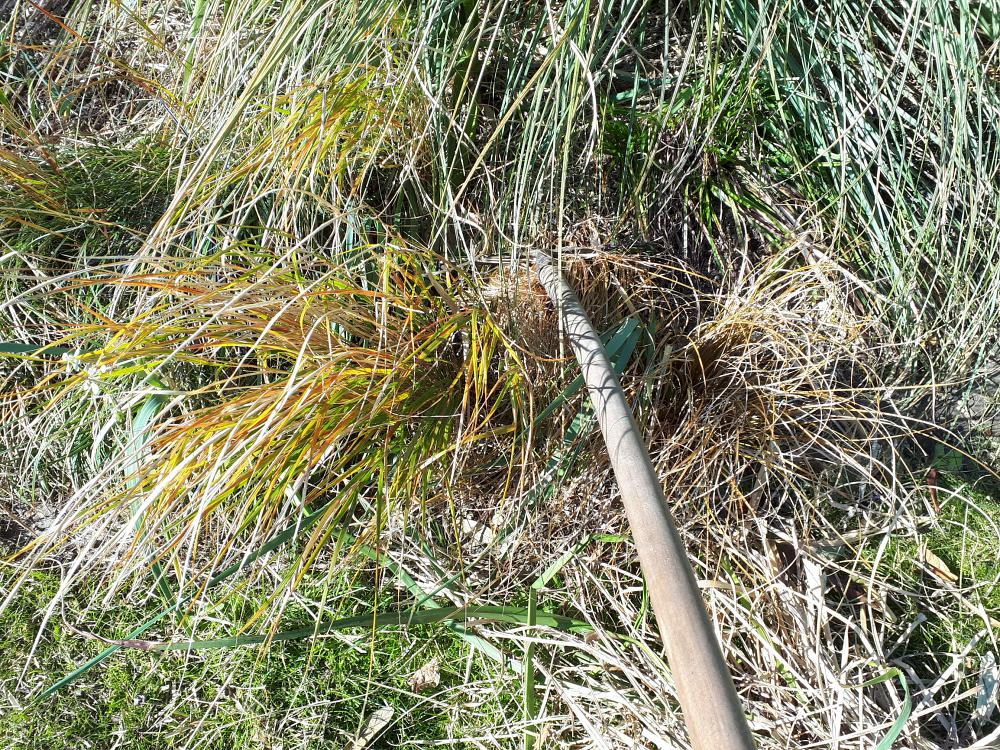 Clean up evergreen grasses