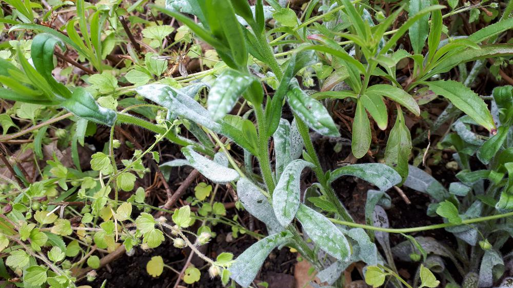 Dry conditions encourage powdery mildew