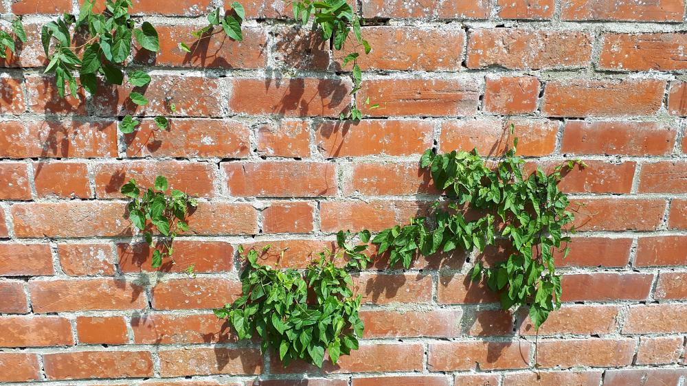 Would you recognise hedge bindweed in a wall?