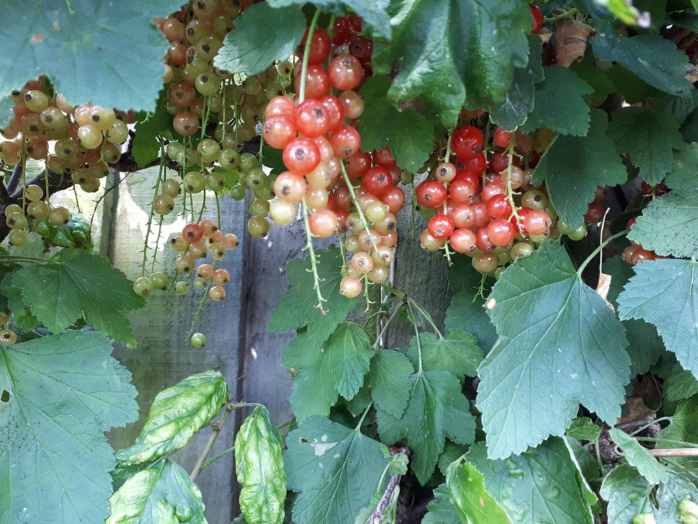 Net redcurrants