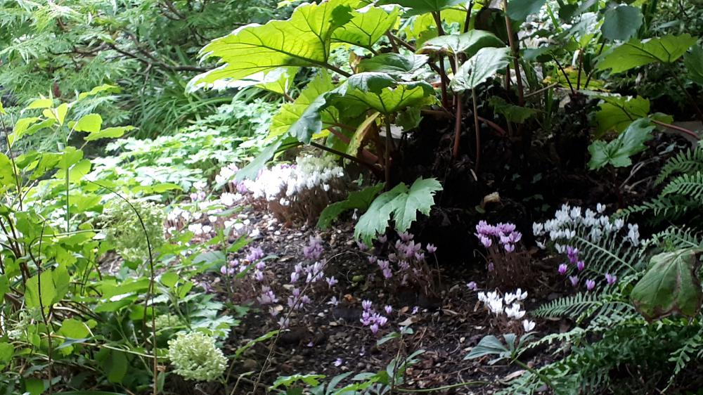 Use cyclamen for autumn underplanting