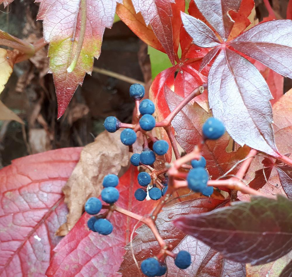 Contrast crimson leaves with blue berries