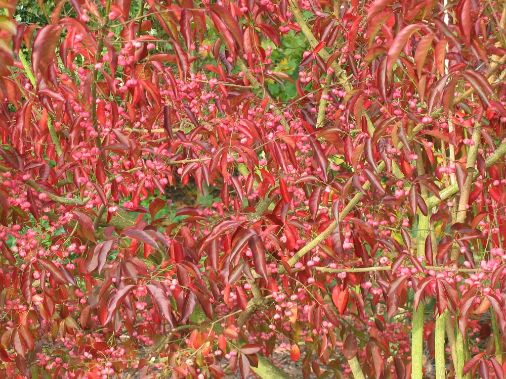 Look for autumn colour in Euonymus