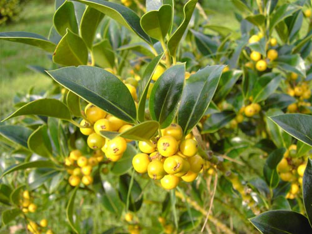 Even hollies can have yellow berries