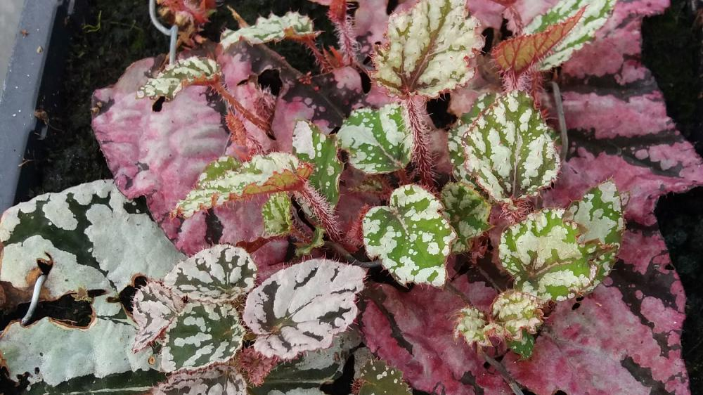 Propagate large-leaved begonias