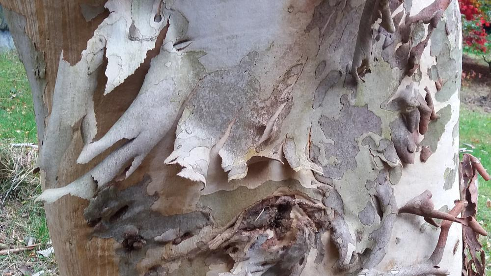 Eucalyptus gunnii for winter bark